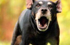 Немецкий ягдтерьер собака. Описание, особенности, уход и цена ягдтерьера
