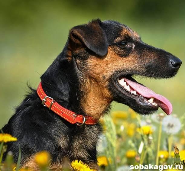 Немецкий-ягдтерьер-собака-Описание-особенности-уход-и-цена-ягдтерьера-10