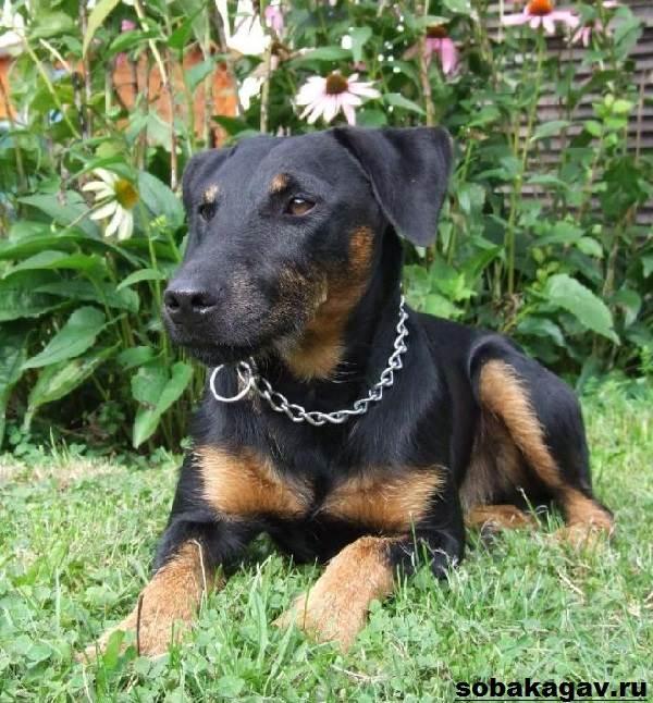Немецкий-ягдтерьер-собака-Описание-особенности-уход-и-цена-ягдтерьера-2