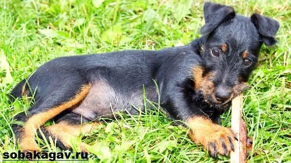 Немецкий-ягдтерьер-собака-Описание-особенности-уход-и-цена-ягдтерьера-4