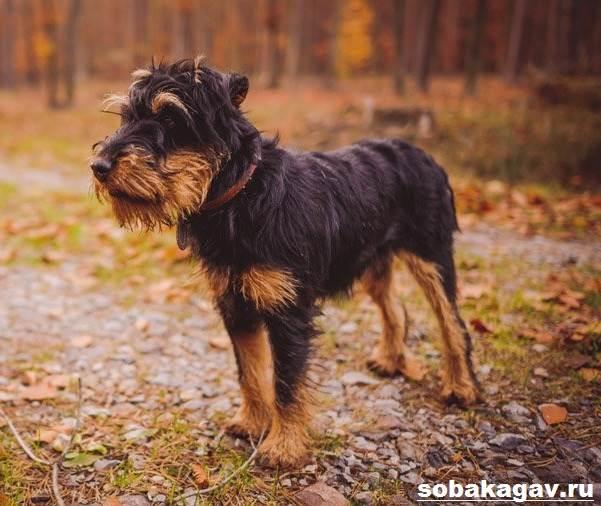Немецкий-ягдтерьер-собака-Описание-особенности-уход-и-цена-ягдтерьера-5