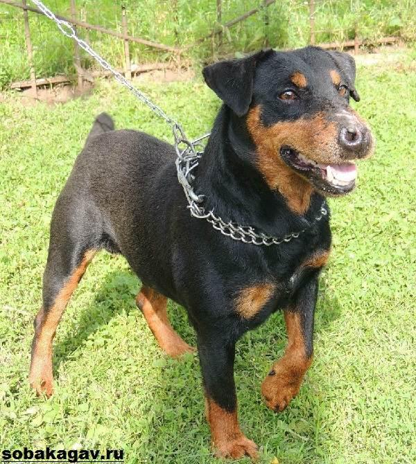 Немецкий-ягдтерьер-собака-Описание-особенности-уход-и-цена-ягдтерьера-6