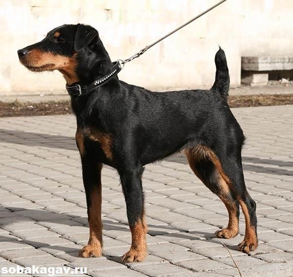 Немецкий-ягдтерьер-собака-Описание-особенности-уход-и-цена-ягдтерьера-7