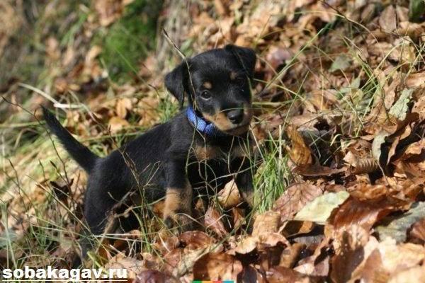 Немецкий-ягдтерьер-собака-Описание-особенности-уход-и-цена-ягдтерьера-9