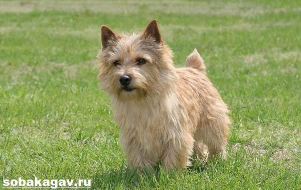 Норвич-терьер-собака-Описание-особенности-уход-и-цена-норвич-терьера-1