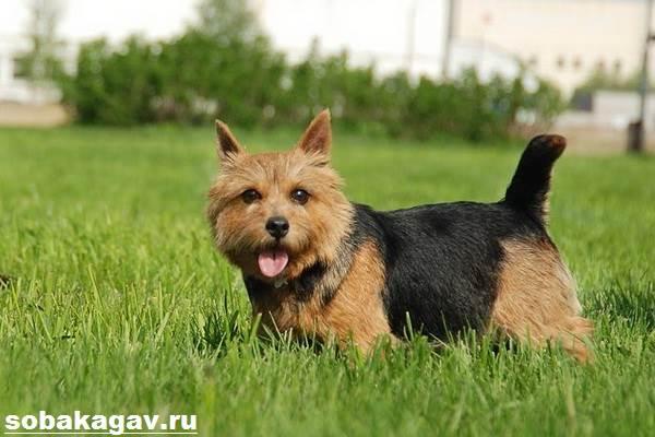 Норвич-терьер-собака-Описание-особенности-уход-и-цена-норвич-терьера-10
