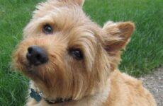 Норвич терьер собака. Описание, особенности, уход и цена норвич терьера