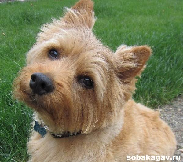 Норвич-терьер-собака-Описание-особенности-уход-и-цена-норвич-терьера-2