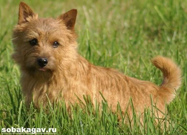 Норвич-терьер-собака-Описание-особенности-уход-и-цена-норвич-терьера-3