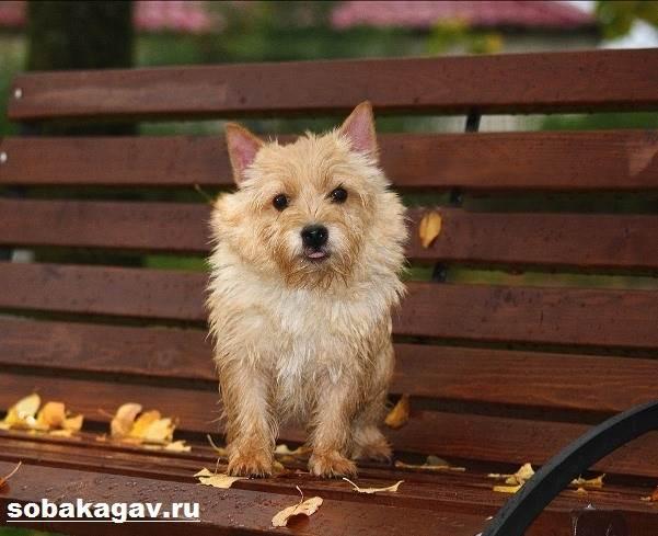 Норвич-терьер-собака-Описание-особенности-уход-и-цена-норвич-терьера-4