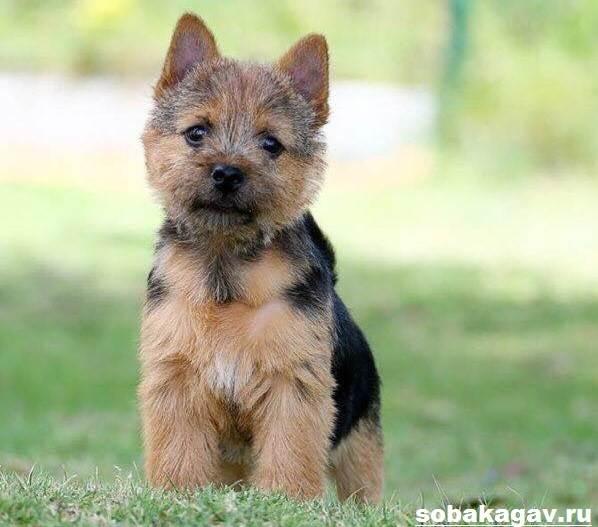 Норвич-терьер-собака-Описание-особенности-уход-и-цена-норвич-терьера-5