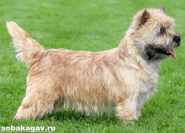 Норвич-терьер-собака-Описание-особенности-уход-и-цена-норвич-терьера-6