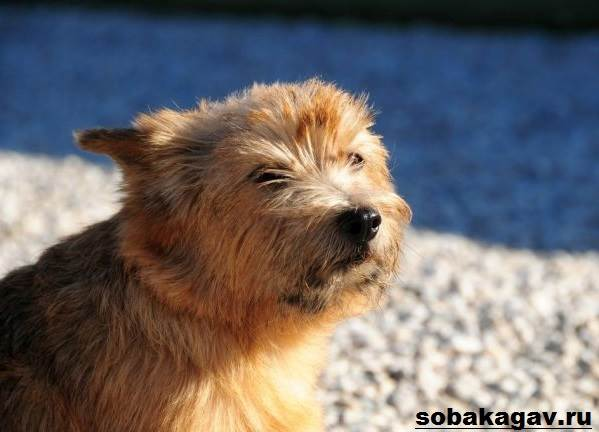 Норвич-терьер-собака-Описание-особенности-уход-и-цена-норвич-терьера-7