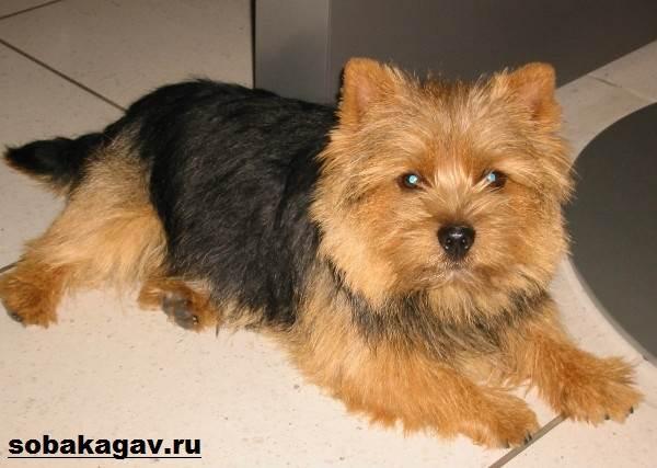Норвич-терьер-собака-Описание-особенности-уход-и-цена-норвич-терьера-8