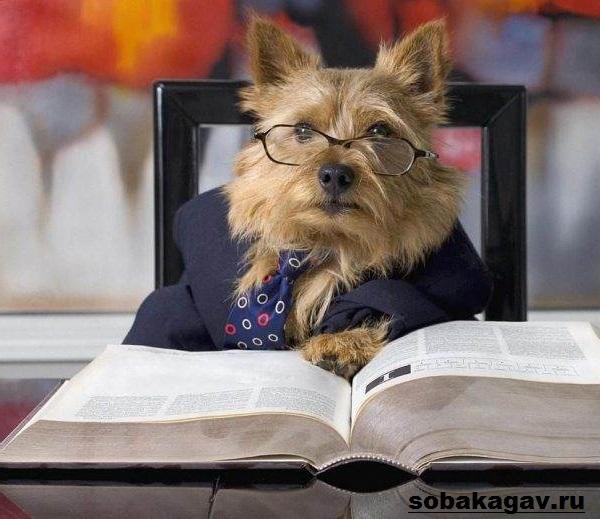 Норвич-терьер-собака-Описание-особенности-уход-и-цена-норвич-терьера-9