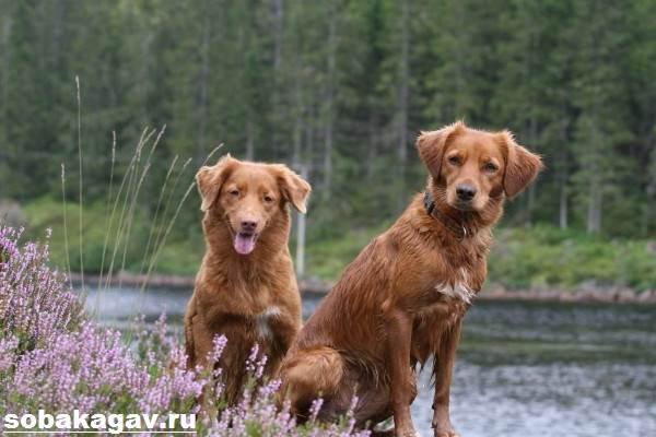 Новошотландский-ретривер-собака-Описание-уход-и-цена-породы-1