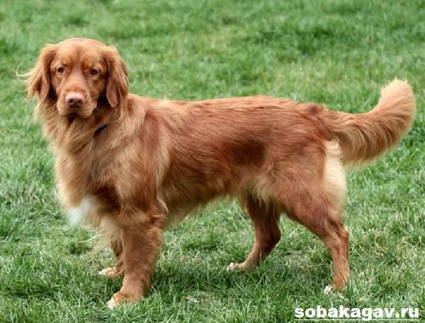 Новошотландский-ретривер-собака-Описание-уход-и-цена-породы-2