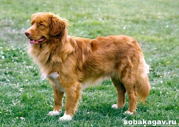 Новошотландский-ретривер-собака-Описание-уход-и-цена-породы-3