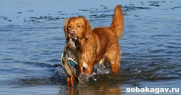 Новошотландский-ретривер-собака-Описание-уход-и-цена-породы-4