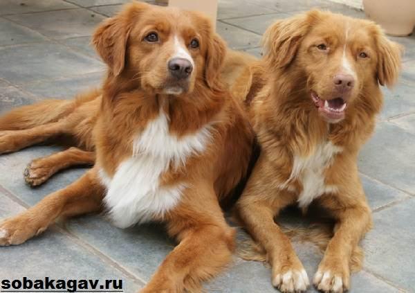 Новошотландский-ретривер-собака-Описание-уход-и-цена-породы-6
