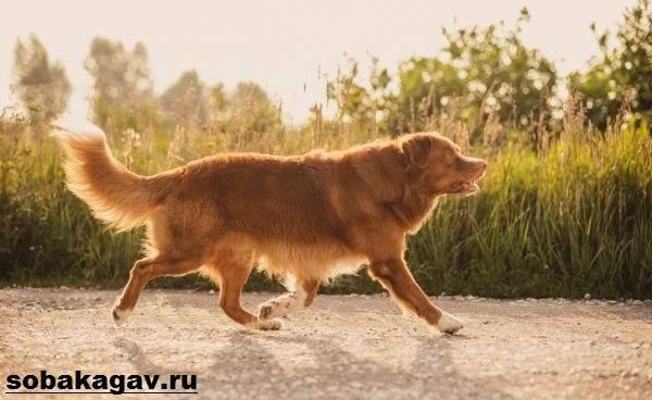 Новошотландский-ретривер-собака-Описание-уход-и-цена-породы-7