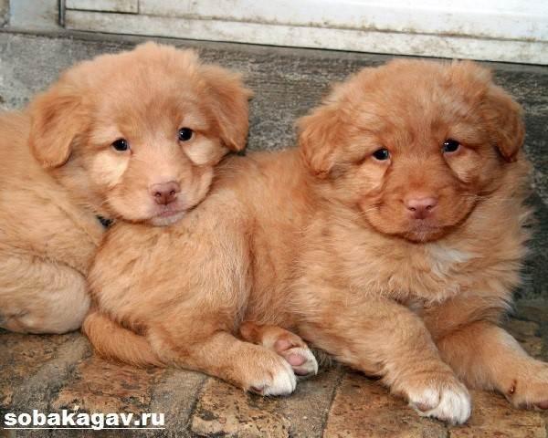 Новошотландский-ретривер-собака-Описание-уход-и-цена-породы-8
