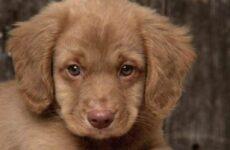 Новошотландский ретривер собака. Описание, уход и цена породы