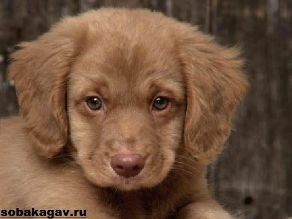 Новошотландский-ретривер-собака-Описание-уход-и-цена-породы-9