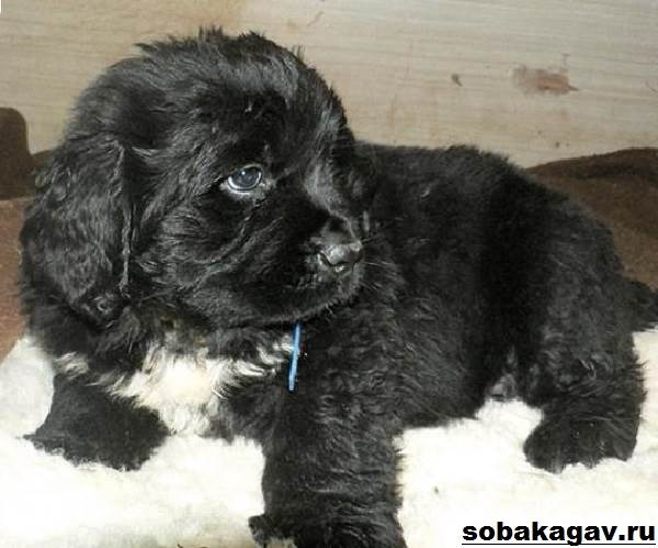 Ньюфаундленд-собака-Описание-особенности-уход-и-цена-ньюфаундленда-2