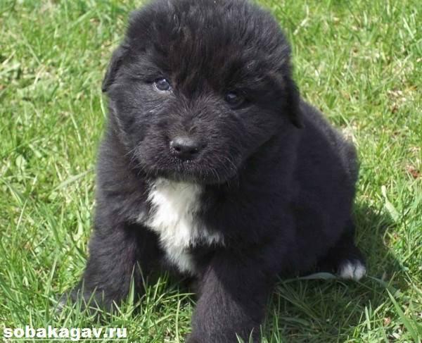 Ньюфаундленд-собака-Описание-особенности-уход-и-цена-ньюфаундленда-3