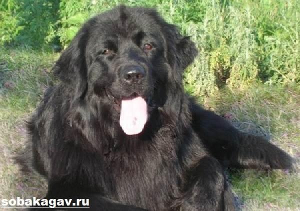 Ньюфаундленд-собака-Описание-особенности-уход-и-цена-ньюфаундленда-4