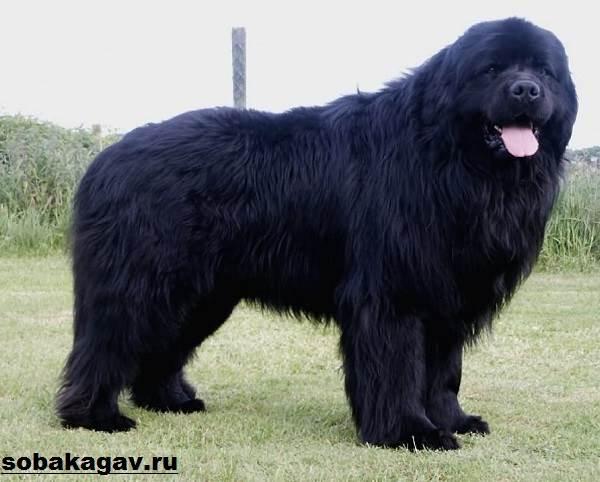 Ньюфаундленд-собака-Описание-особенности-уход-и-цена-ньюфаундленда-5