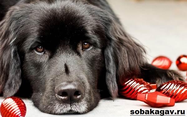 Ньюфаундленд-собака-Описание-особенности-уход-и-цена-ньюфаундленда-6