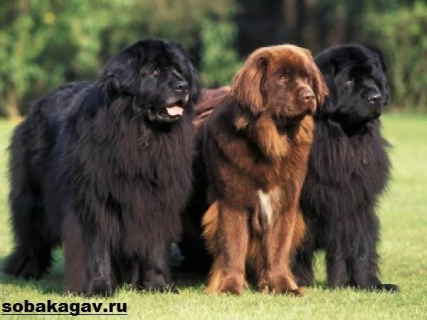 Ньюфаундленд-собака-Описание-особенности-уход-и-цена-ньюфаундленда-7