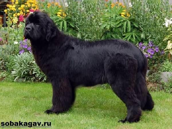 Ньюфаундленд-собака-Описание-особенности-уход-и-цена-ньюфаундленда-8