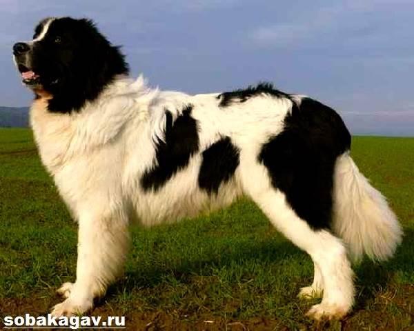 Ньюфаундленд-собака-Описание-особенности-уход-и-цена-ньюфаундленда-9