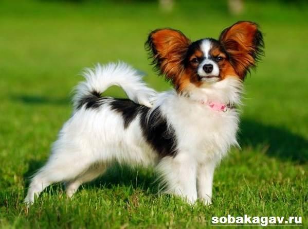 Папильон-собака-Описание-особенности-уход-и-цена-папильона-1