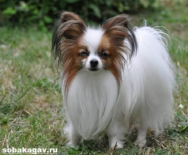 Папильон-собака-Описание-особенности-уход-и-цена-папильона-10