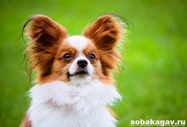 Папильон-собака-Описание-особенности-уход-и-цена-папильона-2