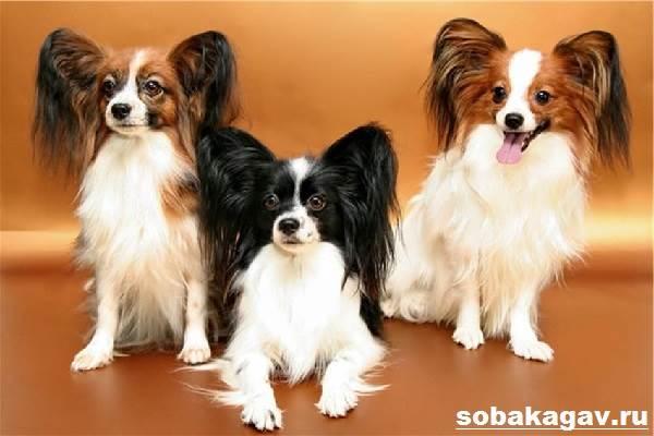 Папильон-собака-Описание-особенности-уход-и-цена-папильона-3