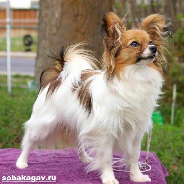 Папильон-собака-Описание-особенности-уход-и-цена-папильона-4