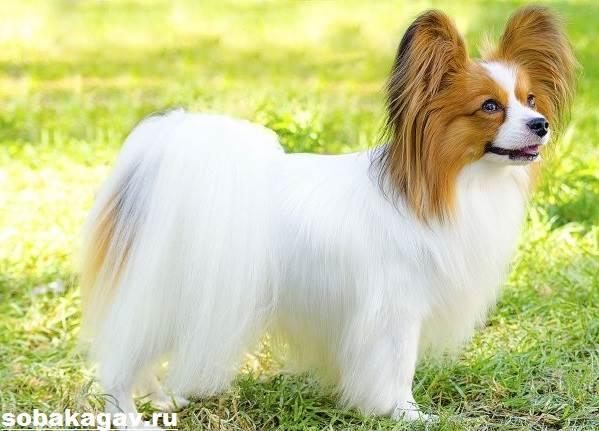 Папильон-собака-Описание-особенности-уход-и-цена-папильона-5