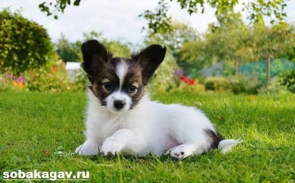 Папильон-собака-Описание-особенности-уход-и-цена-папильона-6