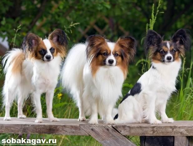 Папильон-собака-Описание-особенности-уход-и-цена-папильона-8