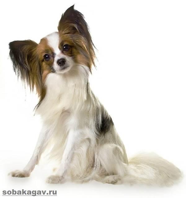Папильон-собака-Описание-особенности-уход-и-цена-папильона-9
