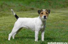Парсон рассел терьер собака. Описание, особенности, уход и цена породы