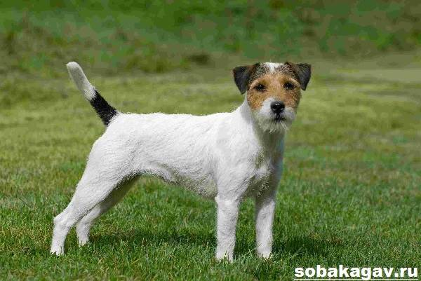 Парсон-рассел-терьер-собака-Описание-особенности-уход-и-цена-породы-11