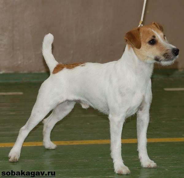 Парсон-рассел-терьер-собака-Описание-особенности-уход-и-цена-породы-2