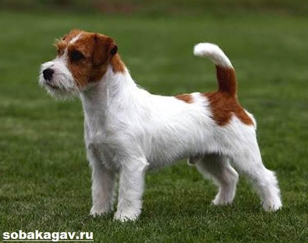 Парсон-рассел-терьер-собака-Описание-особенности-уход-и-цена-породы-3