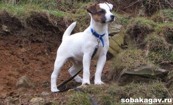 Парсон-рассел-терьер-собака-Описание-особенности-уход-и-цена-породы-4
